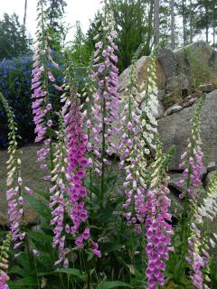 Natural Beauty of Foxglove