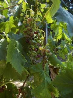 Our August grapes