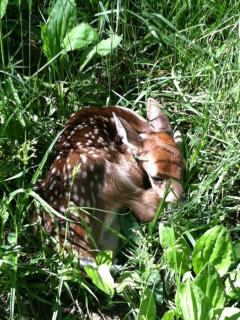 Fawn found by one of our guests!!