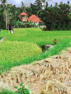 Our paved pathway through the rice fields: the foreground newly harvested while mature stalks await.