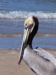 PELICAN ON THE BEACH [1 mile north of home]