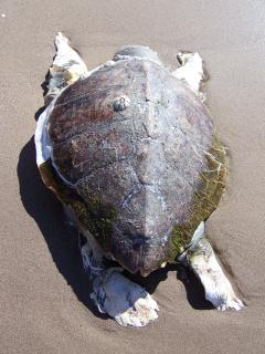 GIANT SEA TURTLE [3 miles up the beach]