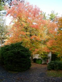 Gorgeous Fall Maple puts on a spectacular show right next to the Guest House
