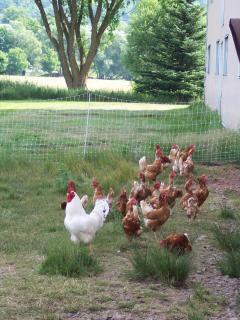 Farm chickens = fresh eggs!