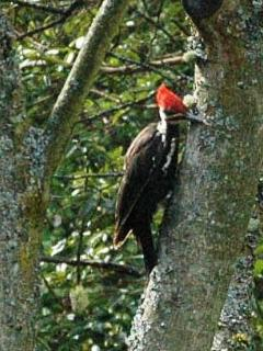 A Pileated visitor