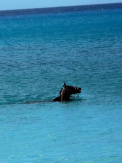 A beautiful race horse swimming in our bay to get in better condition for the race.