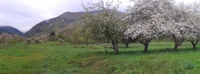 Apple trees at Motségur
