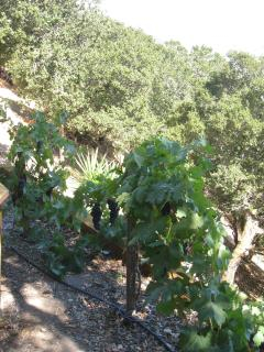 Small vineyard ready for harvest