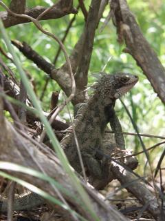 Iguanas are abundant on Water Island.