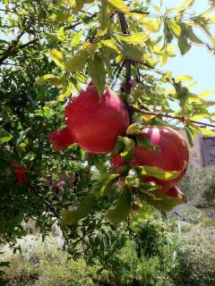 Roah Hashanah pomegranates.