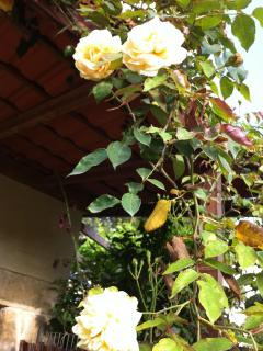 Fragrant antique roses on the cottage veranda.