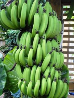 Pick your own bananas!