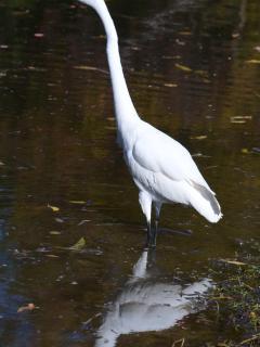 Egret fishing in the lagoon