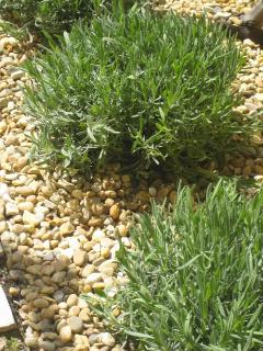 Lavender plants in garden