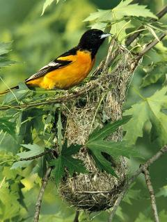 Baltimore orioles are among many avian neighbors who enjoy Vista's bird feeders outside your windows
