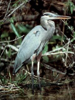 As you stroll along Vista's private and pristine creeks, watch for Heronymous, a great blue heron.