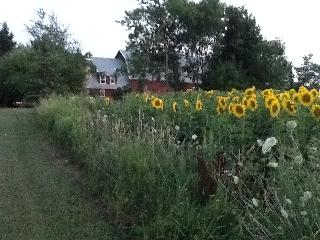 From the back across the sunflowers