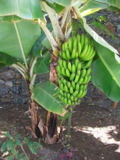 Private gardens with banana and papaya trees. Please help yourself to the fruit when it is in season