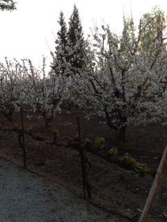 Cherry trees next to cottage