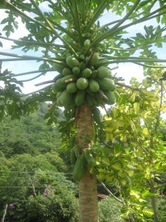 Our own papayas