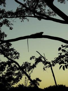 Typical Sunset with Iguana - this big guy lives here too
