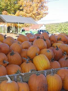 Pumpkin patch at Wellwood Orchard