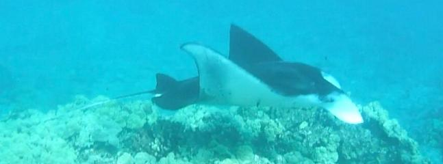 Swimming with a Manta Ray at Manini Beach - only steps away