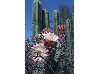Blooming cacti at the ranch