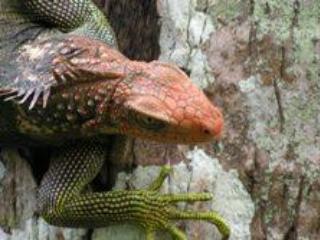 Amigos de Iguana...