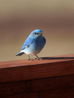 A mountain bluebird graces the deck railing