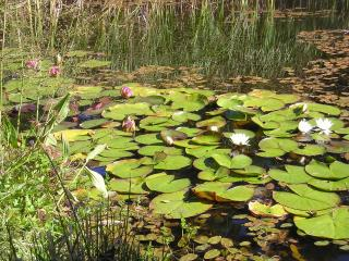 Gorgeous water lilies, four colours white, red, pink and yello