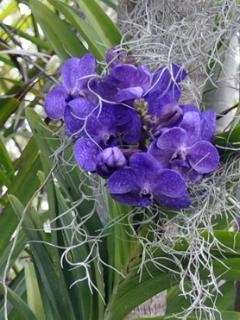 Vanda Orchids adorn the trees in the grounds