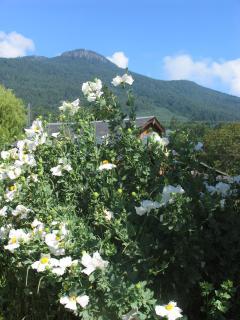 Romneya coulteri flowering in summer