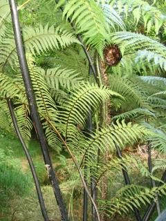 Punga (tree fern) in our Bush