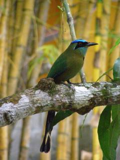 The Blue-Crowned Motmot - a frequent visitor