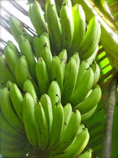 A variety of tropical fruits are grown on the property