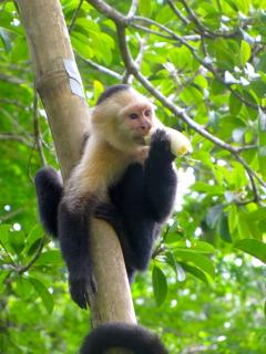White faced, along with 3 other species of monkeys, visit the property regularly.