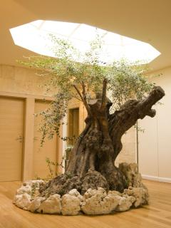 Olive tree by the swimming pool