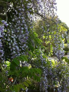 Whisteria in the garden
