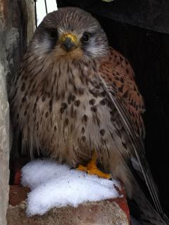 Kestrel sheltering in the snow