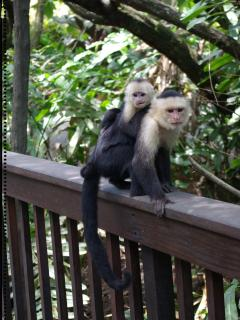 Capuchin Motherhood