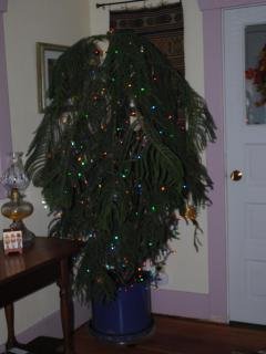 Forlorn, abandoned, & very sick 9 months ago, the Norfolk pine is decked out for the holiday season!
