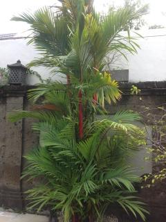 Garden lipstick palms