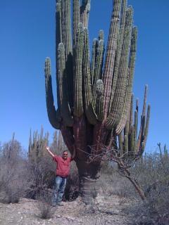 Huge Cardon cactuses