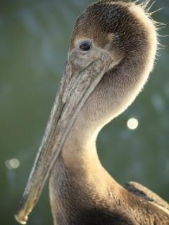 Brown Pelican at Marina