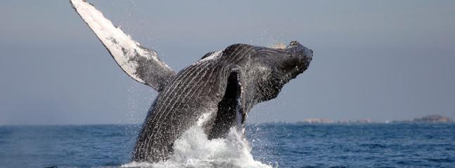 Humpbacks in the bay