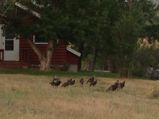 Wild turkey outside front door