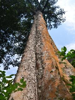 More tree giants in Kambe Rainforest