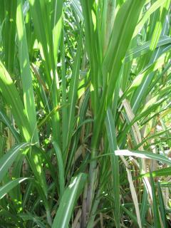 Sugar cane on property
