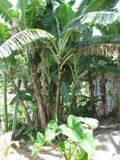 Banana trees growing on property.